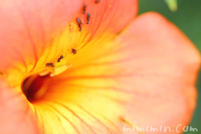 ノウゼンカズラの誕生花の写真