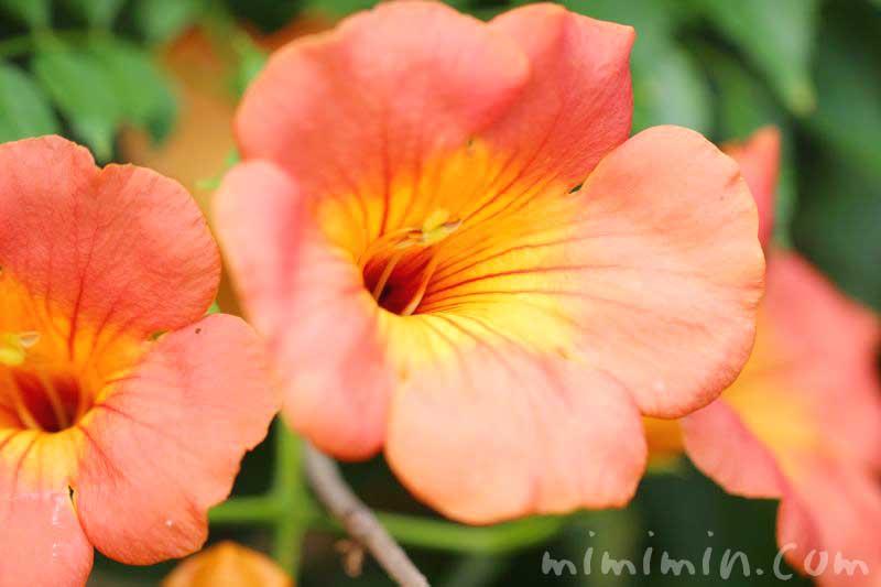 ノウゼンカズラの花言葉の画像