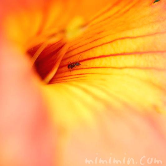 ノウゼンカズラの花言葉と誕生花