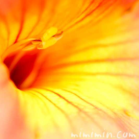 ノウゼンカズラの花言葉と誕生花の写真