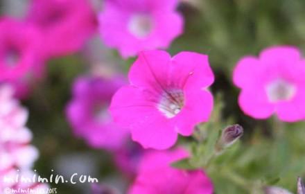 ペチュニアの花言葉・名前の由来・ピンクのペチュニアの花の写真