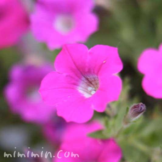 ペチュニアの花言葉・名前の由来・花の写真の画像