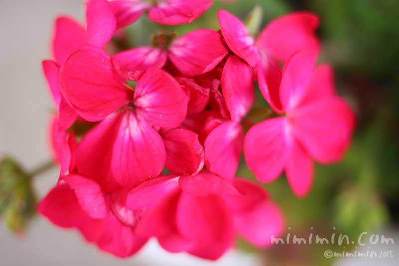 ゼラニウムの花言葉・名前の由来・花の写真