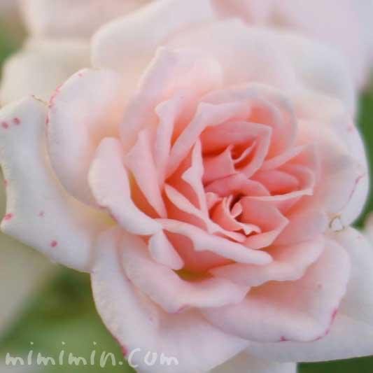 バラの花言葉・名前の由来・花の写真の画像