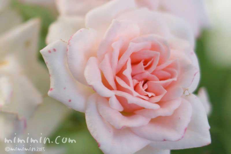 バラの花言葉・名前の由来・ピンクのバラ