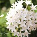 白いペンタス(花言葉・名前の由来・花の写真)の画像