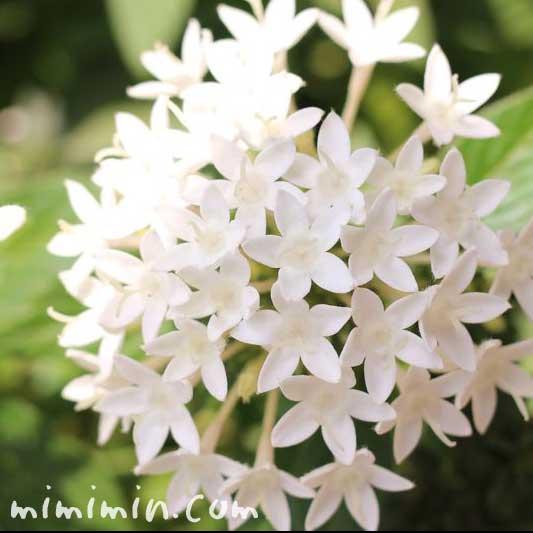 白いペンタスの花の写真(花言葉・名前の由来)