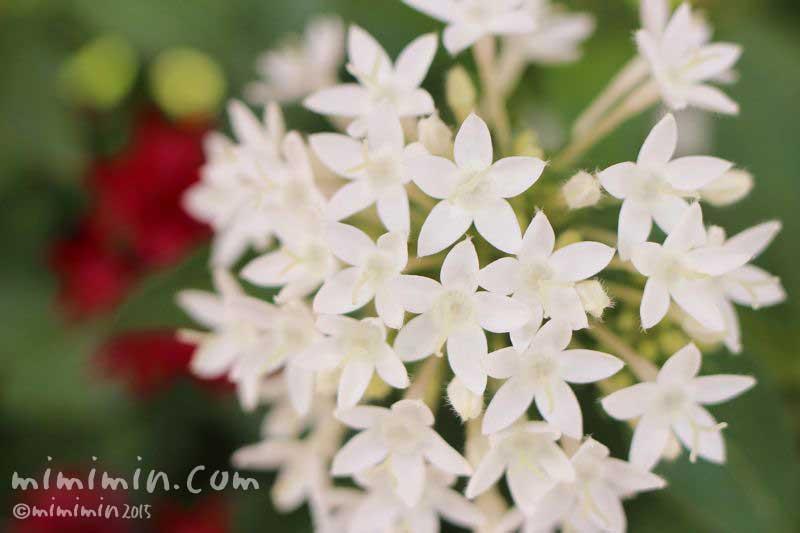 白いペンタスの花(花言葉)の画像