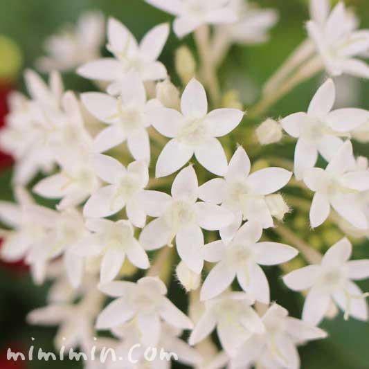 白いペンタス(花の写真&花言葉)の画像