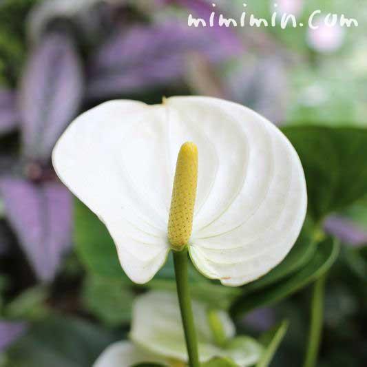 アンスリウムの花言葉・名前の由来・白いアンスリウムの写真