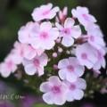 フロックスの花の写真