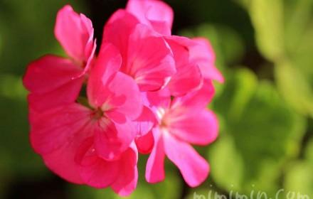 濃いピンク色のゼラニウムの花の写真