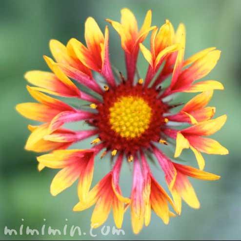 テンニンギクの花の写真
