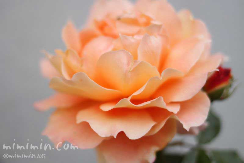 バラの色別の花言葉)・オレンジ色のバラの花の画像