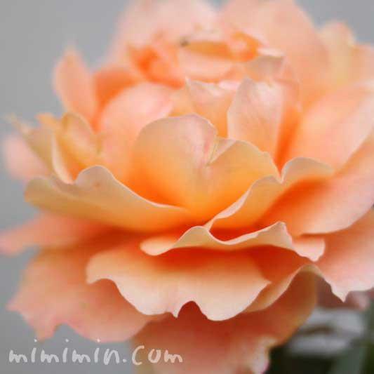 バラの花言葉(色別の花言葉)・オレンジ色のバラの写真