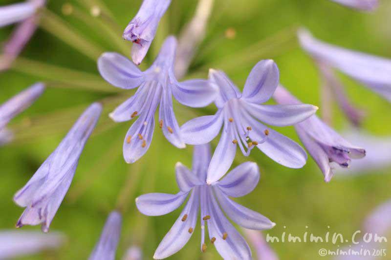 アガパンサスの花(ブルー)の写真