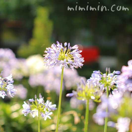紫君子蘭の花の写真