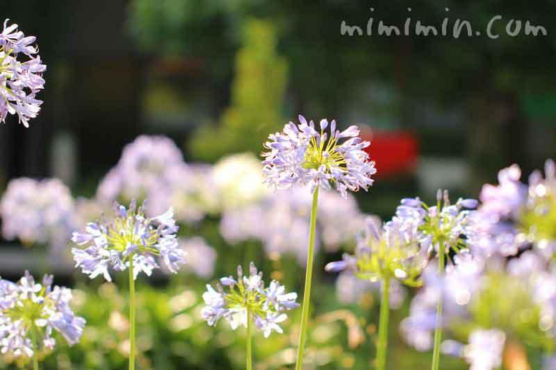 アガパンサスの花・青色の画像
