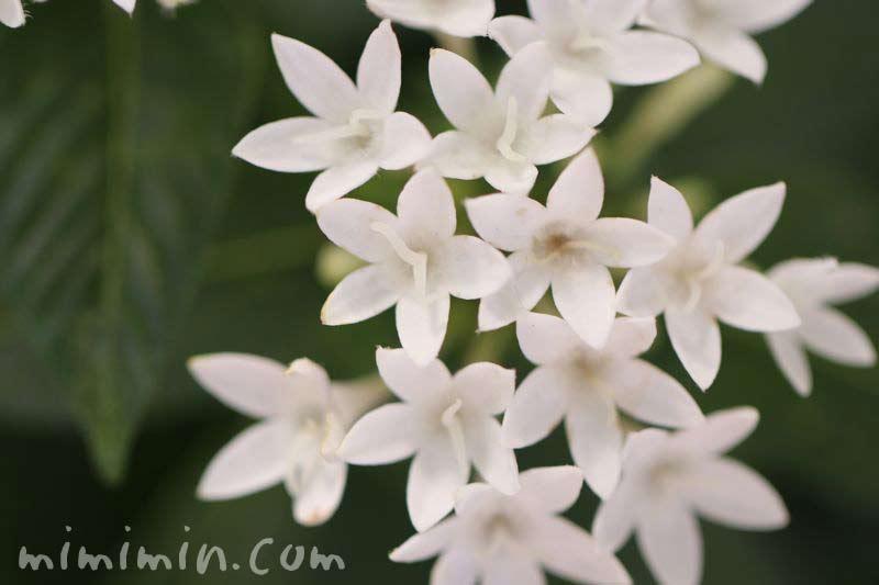 ペンタスの花・白の写真