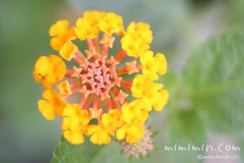 ランタナの花言葉・黄色いランタナの花の写真