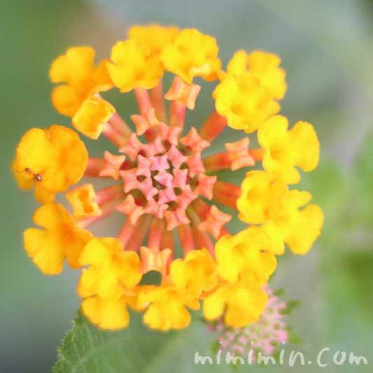 ランタナの花言葉・黄色いランタナの写真