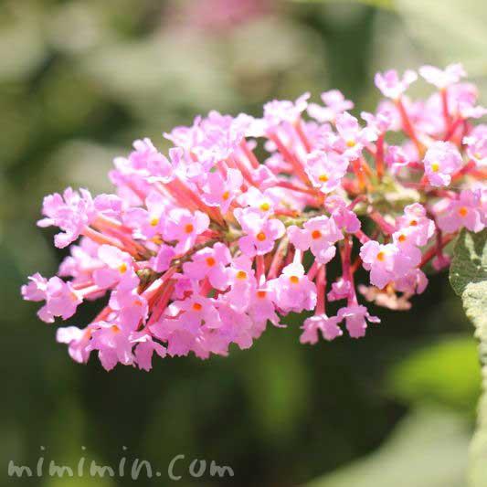 ピンク色のブッドレア・錦藤空木の写真