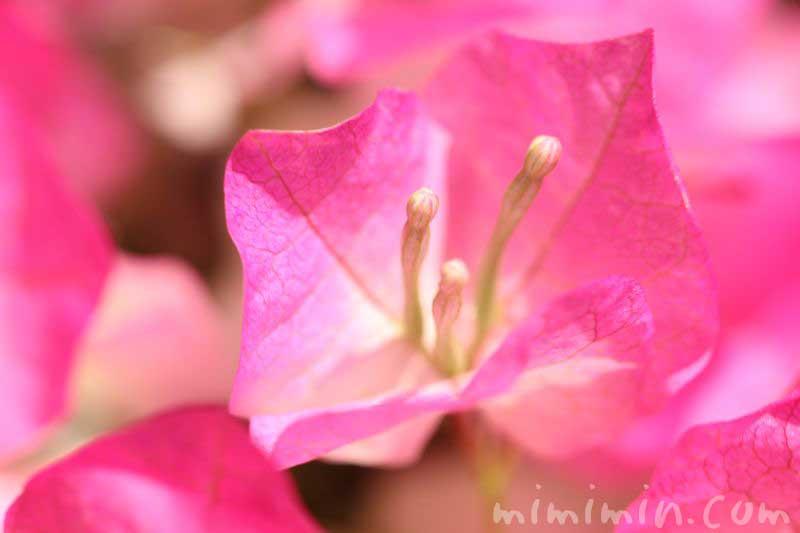 ブーゲンビリアの花・ピンクの写真