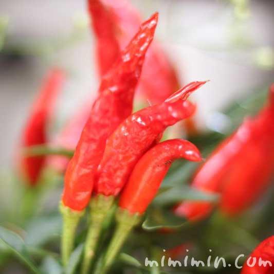 唐辛子の赤い実の画像