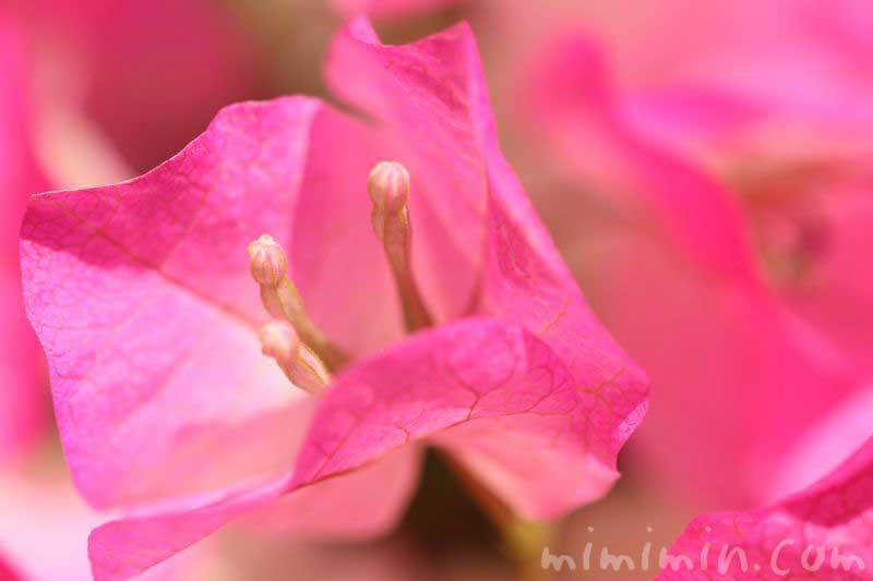 ブーゲンビリア・ピンクの画像