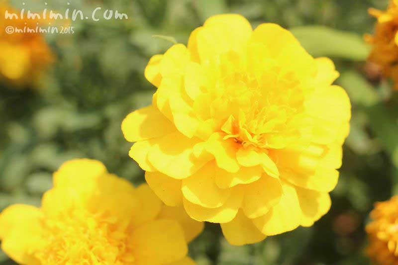 マリーゴールドの花の写真・マリーゴールドの色別の花言葉の画像