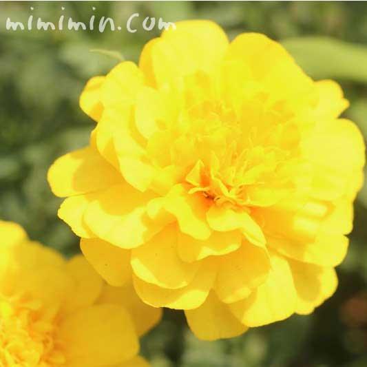 黄色のマリーゴールドの写真・色別の花言葉の画像