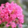 サルスベリの花言葉・ピンク色のサルスベリの花の写真