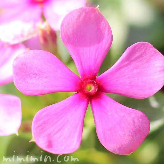 極小輪ニチニチソウ ピンクの画像
