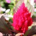 ケイトウ(鶏頭)の花・赤の写真