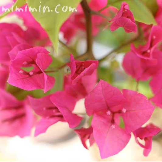 ブーゲンビリア(花の写真&花言葉)の画像
