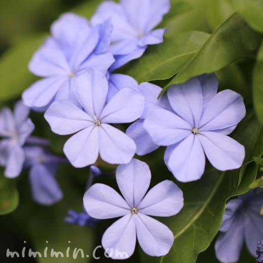 プルンバーゴの花の写真