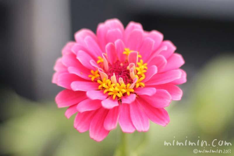 ピンク色のジニアの写真
