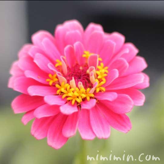 ピンク色のジニアの花(の画像