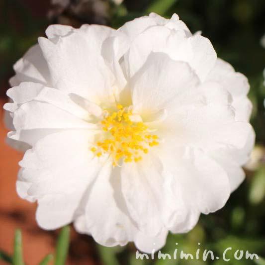 マツバボタンの花の写真