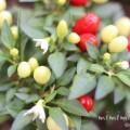 トウガラシ(観賞用)の花と実の写真