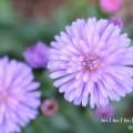 クジャクアスター(孔雀草・クジャクソウ)の花の写真