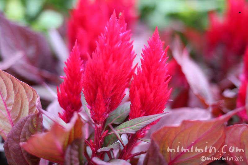ケイトウの花の写真