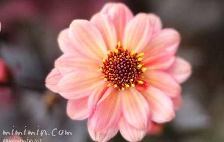 ダリア(一重咲き)の写真