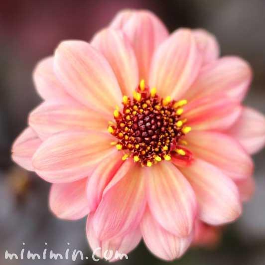 ダリアの花(一重咲き)の写真