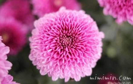濃いピンクのポンポン菊(ポンポンマム)の写真・花言葉の画像