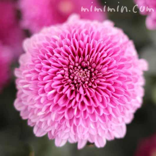 ポンポン菊(ポンポンマム)の写真・花言葉の画像