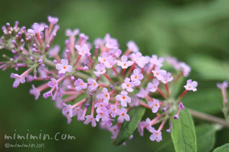ピンク色のブッドレア(花の写真&花言葉)の画像