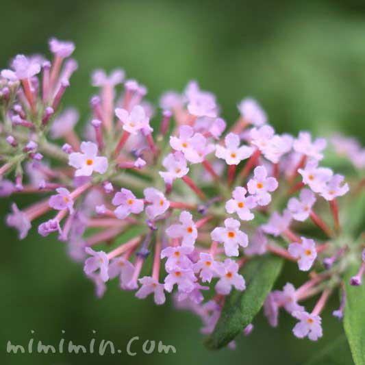 ブッドレアの写真&花言葉の画像