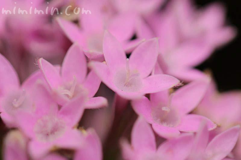 ペンタス・ピンクの画像