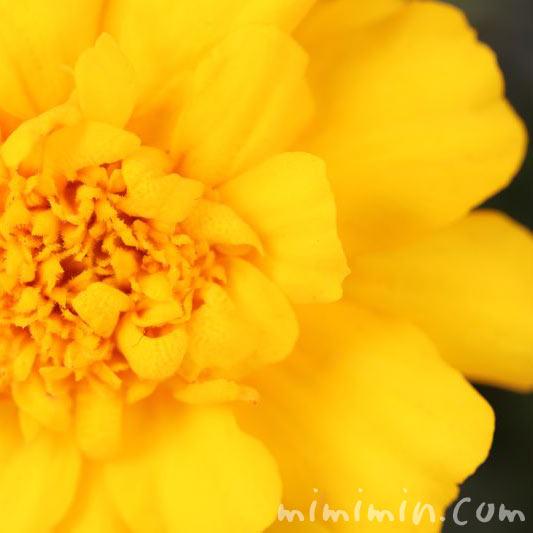 黄色のマリーゴールドの花